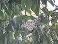 Idea malabarica - Malabar Tree-Nymph nectaring on Syzygium hemisphericum at Makutta (6).jpg