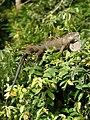 Iguana iguana (male resting).jpg