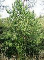 Ilex chinensis1.jpg