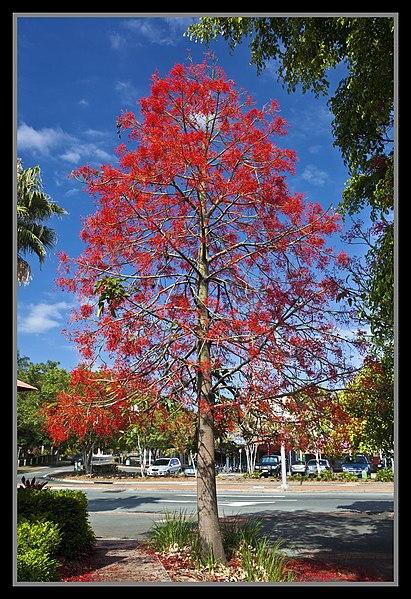 File:Illawarra Flame Tree (Brachychiton Acerifolius)at Sandgate-4 (6291274456).jpg