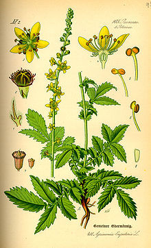 Agrimonia eupatoria - Wikipedia, the free encyclopedia