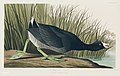 Illustration from Birds of America (1827) by John James Audubon, digitally enhanced by rawpixel-com 239.jpg