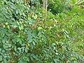 Indigofera tinctoria-4-papanasam-tirunelveli-India.jpg