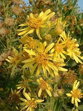 Inula viscosa flowers.jpg