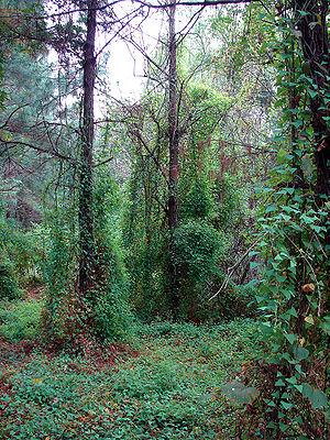 Persicaria perfoliata - Persicaria perfoliata is an invasive species