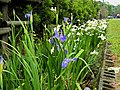 Iris sibirica 西伯利亞鳶尾 - panoramio.jpg