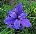 Iris virginica (Virginia iris) (Newark, Ohio, USA) 1 (27196090684).jpg