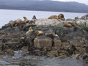 Sea lions at the Beagle Channel near Ushuaia