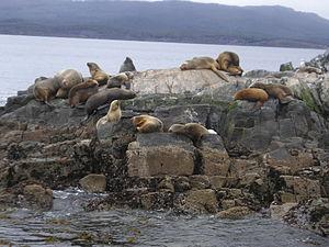 Tierra del Fuego - Sea lions at Isla de los Lobos in the Beagle Channel, near Ushuaia