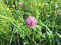 Itzehoe Rotklee Juli-2013 IMG 1257.JPG