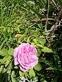 Iziko rust en vreugd flower in garden.jpg