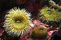 J20161104-0031—unidentified—Monterey Bay Aquarium (30887323286).jpg