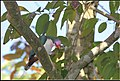 JAMBU FRUIT DOVE (8443720120).jpg