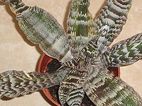 JWGII Cryptanthus zonatus 02.JPG