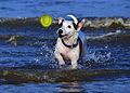 Jack Russell Terrier Eddi.JPG