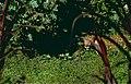 Jaguar (Panthera onca) male (10532521724).jpg