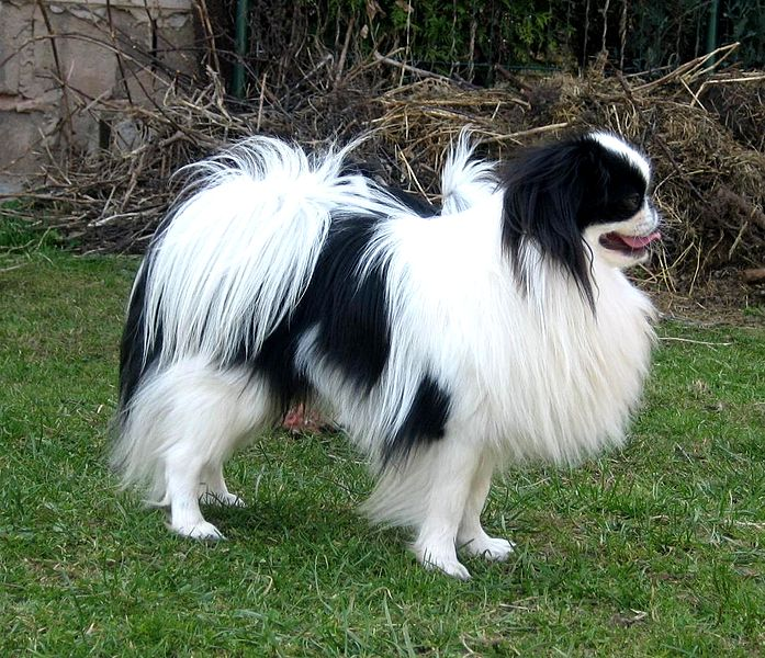 File:Japanese Chin dog.jpg