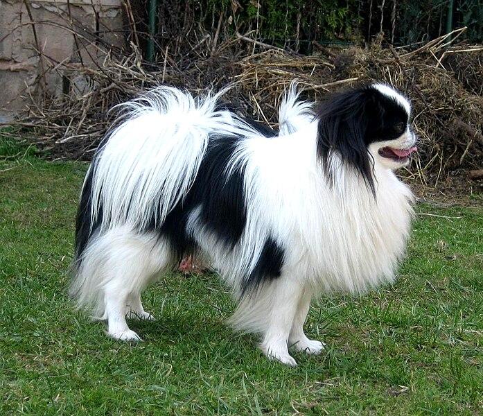 File:Japanese Chin dog.jpg
