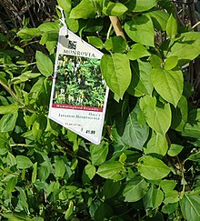Japanese Honeysuckle plants growing in NJ in April.jpg