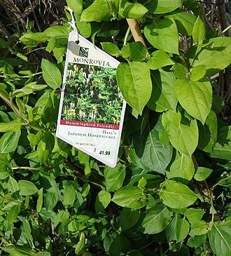 Lonicera japonica - Image: Japanese Honeysuckle plants growing in NJ in April