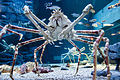 Japanese spider crab (15340536895).jpg