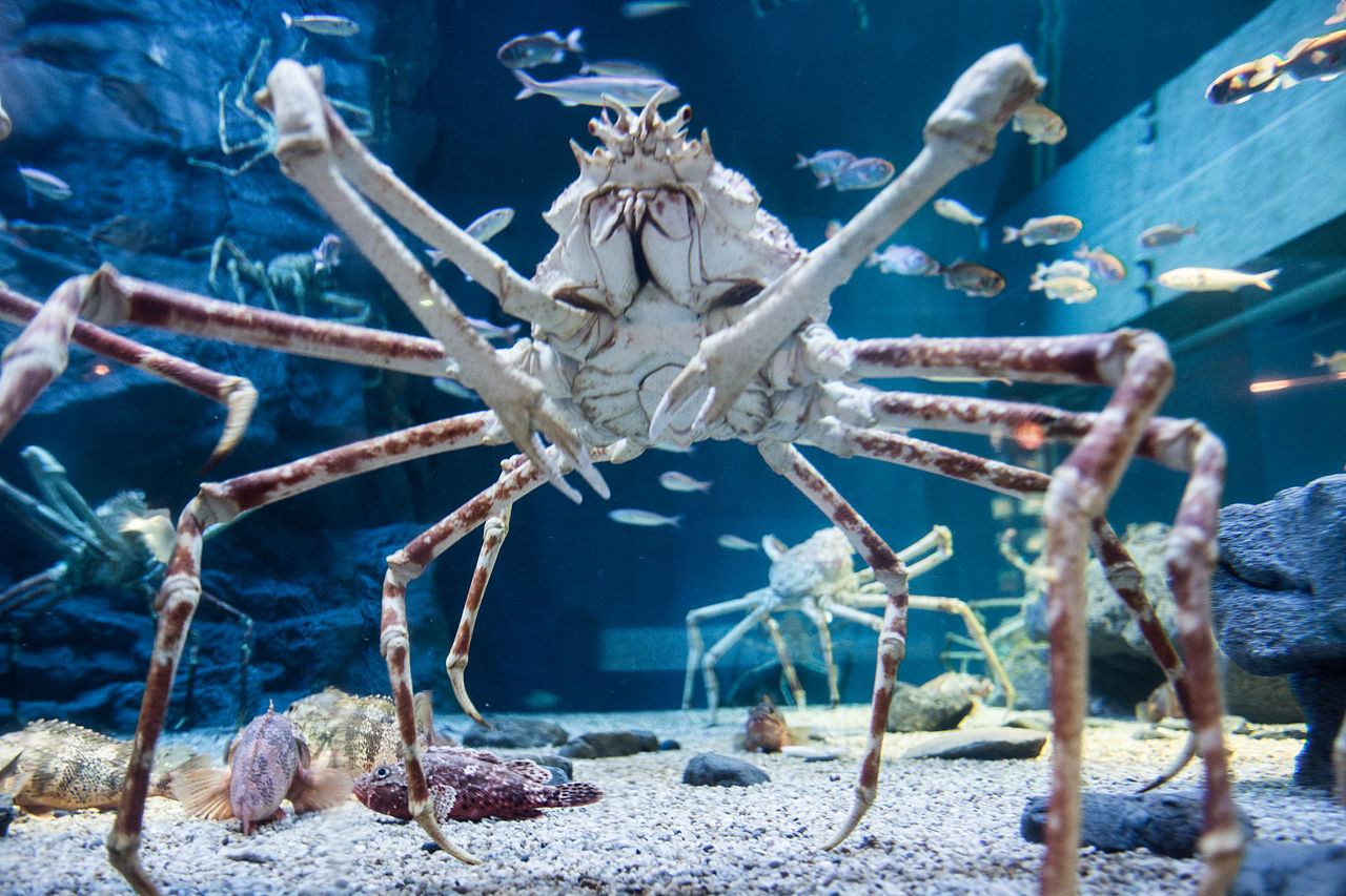 Spider Crab Size File:Japanese s...