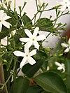 Jasminum azoricum3