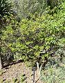 Jasminum odoratissimum - Jardín Botánico de Barcelona - Barcelona, Spain - DSC09037.JPG