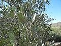 Jojoba, Saguaro National Park (Tucson Mountain District), Arizona (ef14955f-5759-46ee-aed1-b1456a375107).jpg