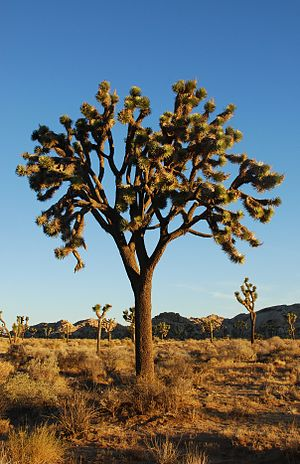 Joshua Trees (Yucca brevifolia) at sunrise in ...