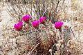 Joshua Tree National Park - Hedgehog Cactus (Echinocereus engelmannii) - 14.JPG