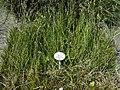 Juncus articulatus - Botanical Garden, University of Frankfurt - DSC02699.JPG