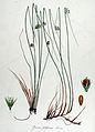 Juncus filiformis — Flora Batava — Volume v14.jpg