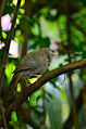 Jungle babbler12.jpg