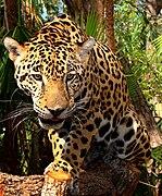 149px Junior Jaguar Belize Zoo