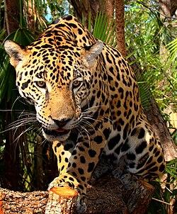 panthera onca - wikipedia, la enciclopedia libre