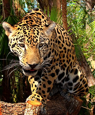 Keystone species - The jaguar, a keystone, flagship, and umbrella species, and an apex predator