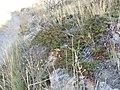 Juniperus horizontalis (5107826324).jpg
