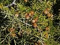 Juniperus oxycedrus subsp. oxycedrus (fruits).jpg