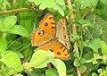 Junonia almana - Peacock Pansy 12.jpg