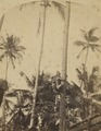 KITLV 91536 - Unknown - Man busy climbing a coconut tree in India - Around 1880.tif
