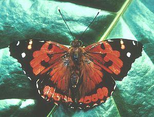 Kamehameha butterfly - Image: Kamehamehabutterfly 2