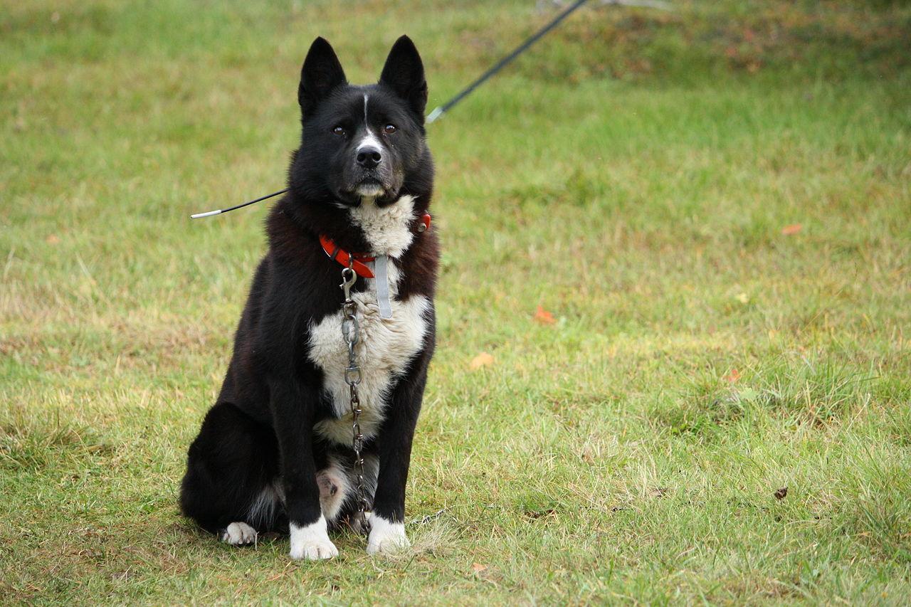 Karalian Bear Dog Good And Bad