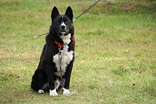 Karjalankarhukoira, Karelian Bear Dog looking at camera.jpg