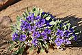 Karoo Violets (Aptosimum indivisum) (32640511061).jpg