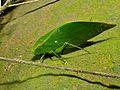 Katydid (Tettigoniidae) (8406317128).jpg