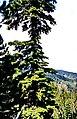 Kazdağı 09 2005 TanneTroiani 1.jpg