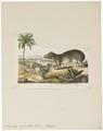 Kerodon rupestris - 1700-1880 - Print - Iconographia Zoologica - Special Collections University of Amsterdam - UBA01 IZ20600053.tif