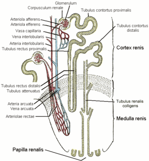 Urin Wikipedia
