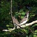 Kingbirds (5946632006).jpg